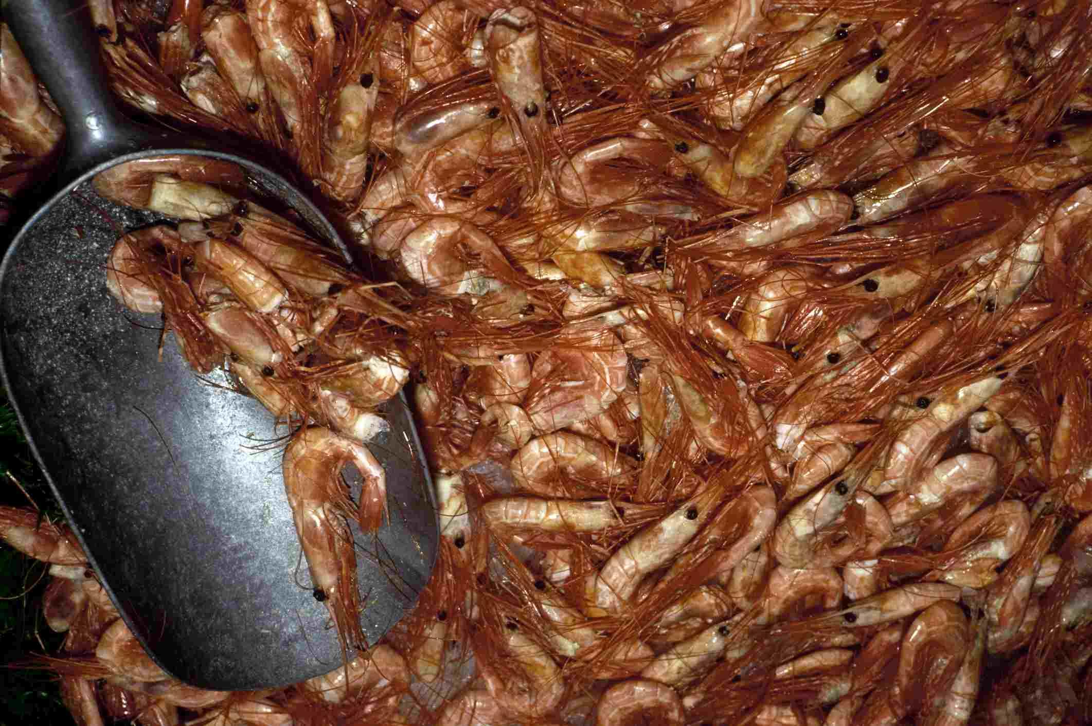 Fresh Florida shrimp