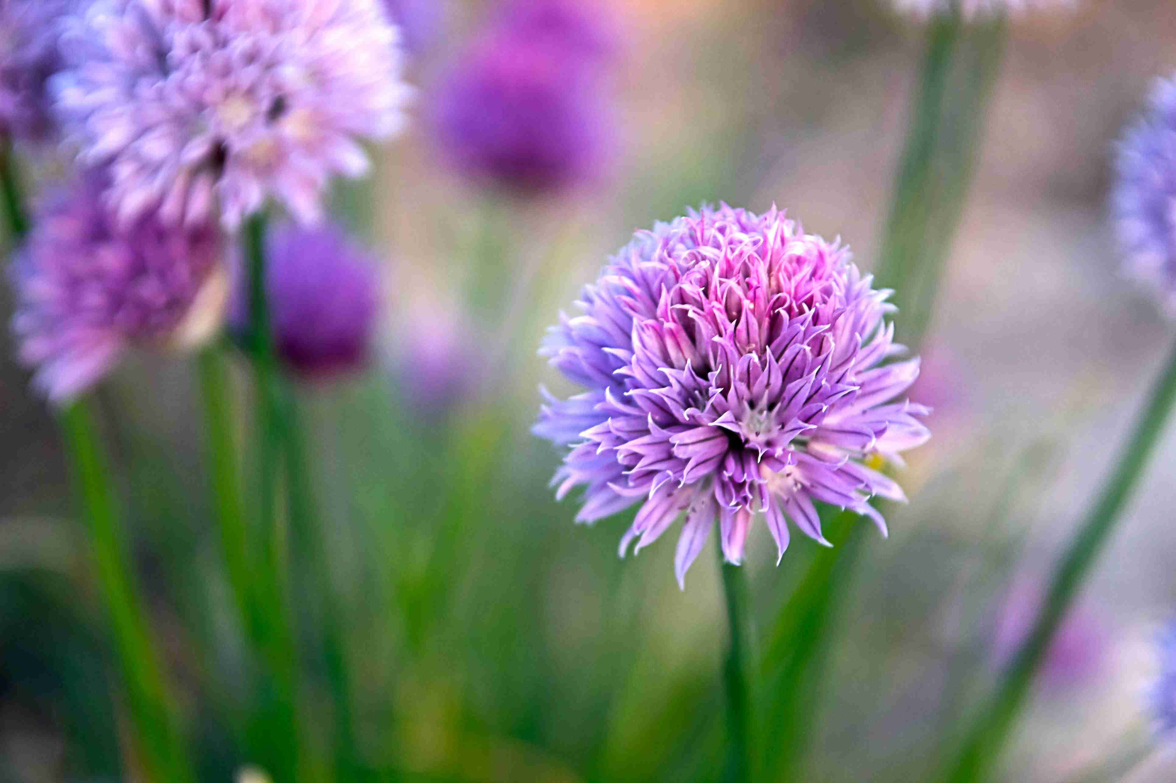 Chive Flower close up