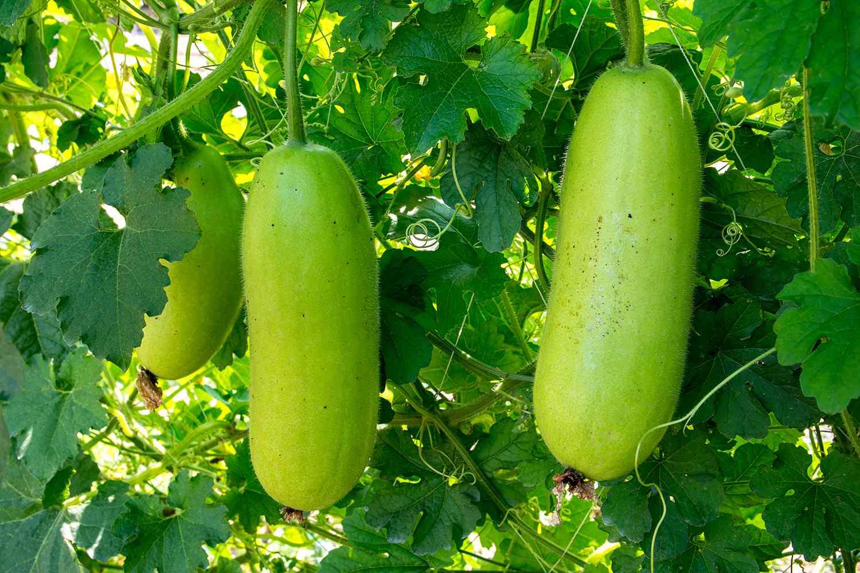 Hanging winter melon in the garden.Young winter melon.Green winter melon