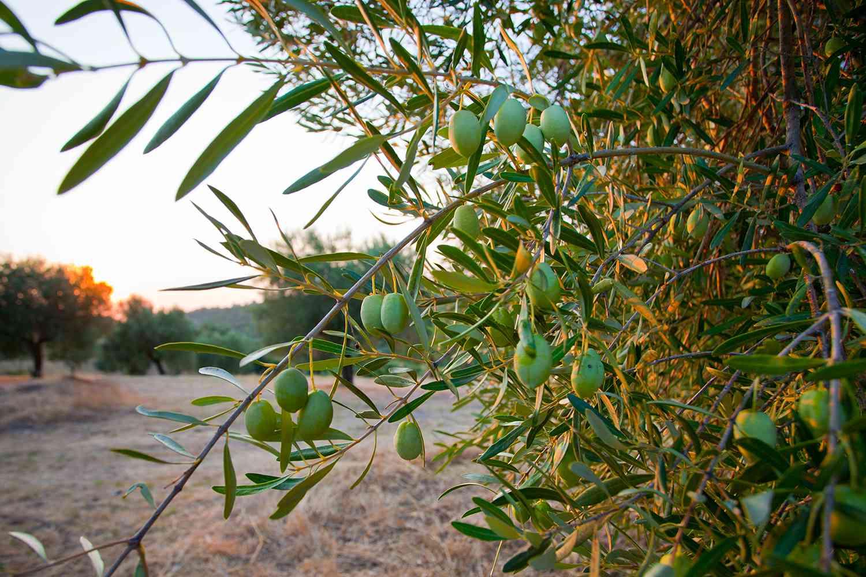 Halkithiki Green Olives