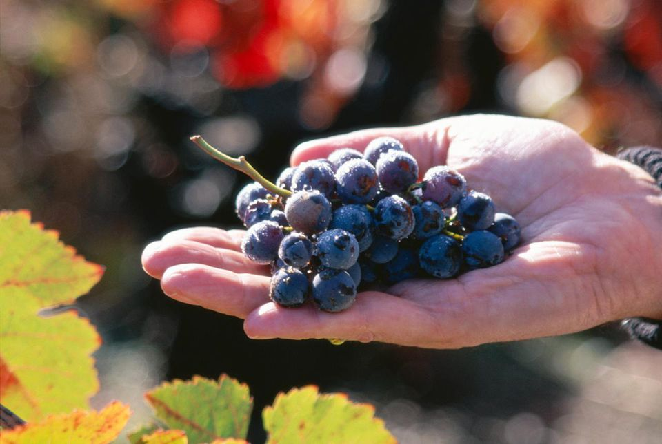 Zinfandel grapes held in a hand