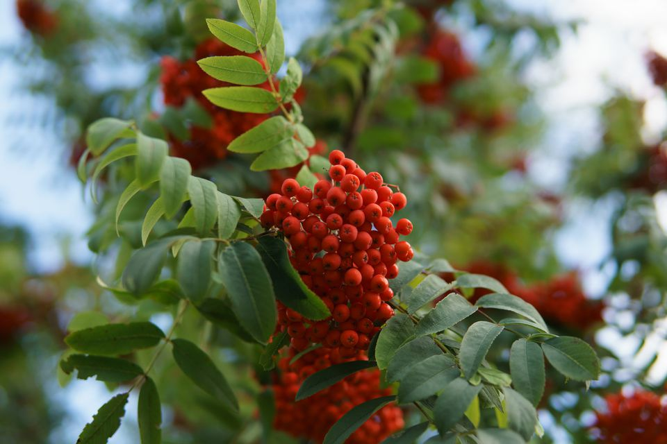 Rowan berries in nature