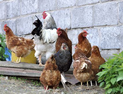 Flock of Chickens