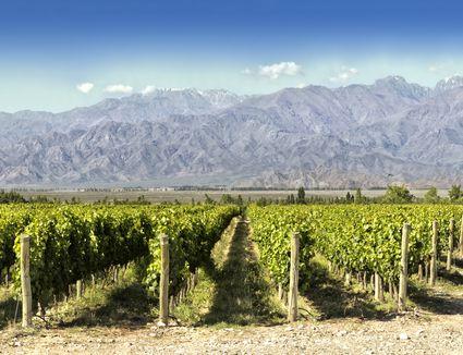 Malbec Vineyards in Argentina