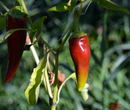Close-Up Of Red Chili Peppers Growing In Vegetable Garden
