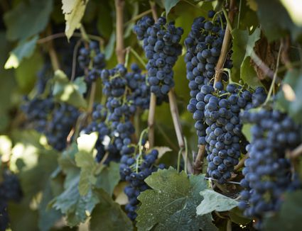 Petit Verdot grapes hanging on vines