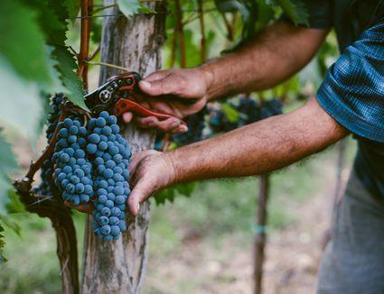 Senior mans hands harvesting grapes from vine