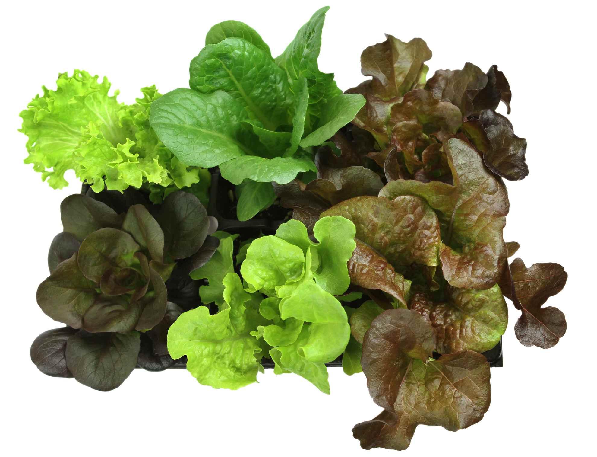 Spring Lettuce Salad Leaves