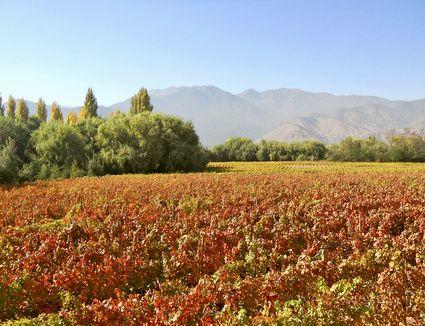 Carmenere Vineyards at Viña Tipaume