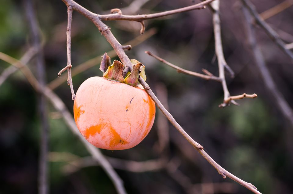 Fuyu persimmon growing on a tree