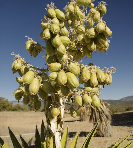 Yucca baccata with lots of ripe fruit