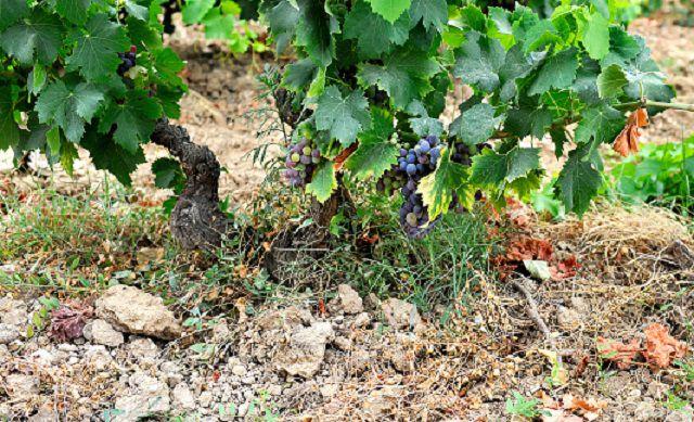 Grenache Vine