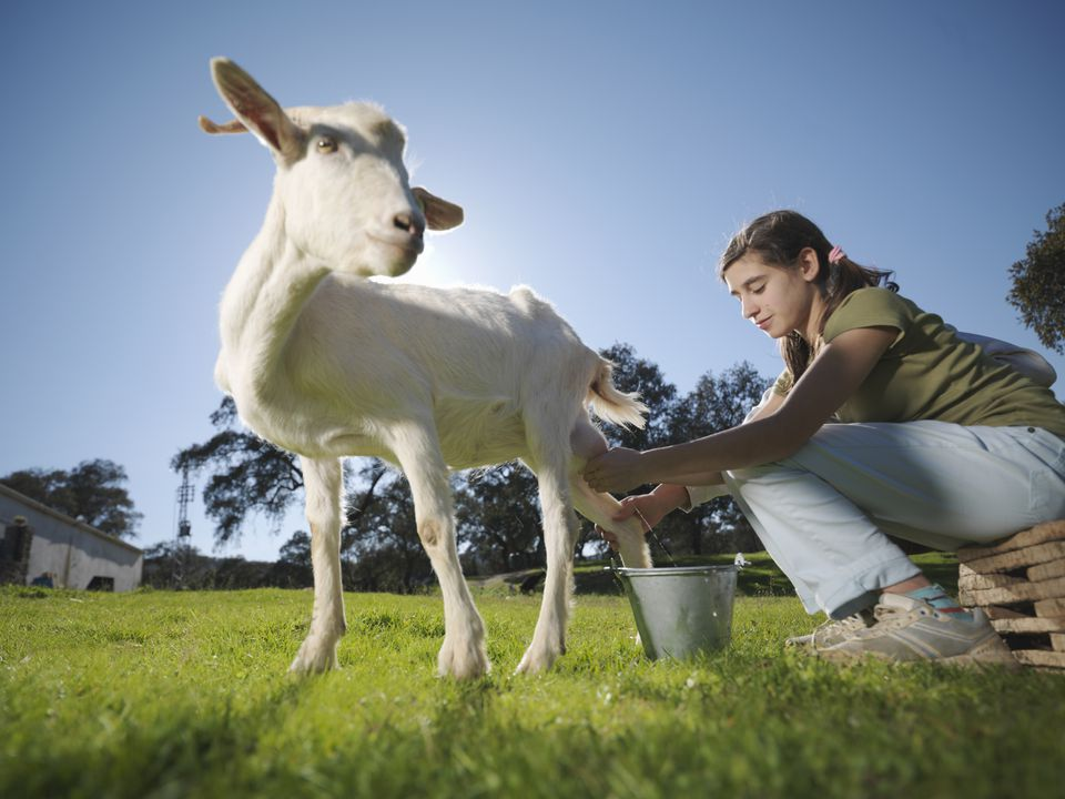 Girl milking a goat