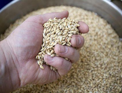 A handful of malted barley used in beer making