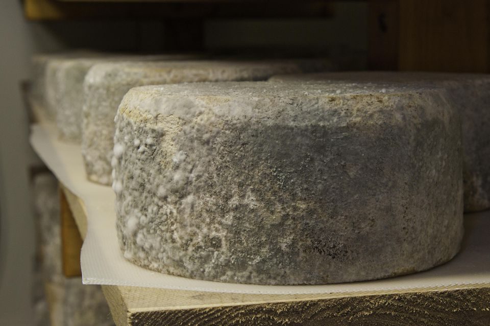 "Cheese rounds that have been inoculated with mold cure in the aging room to produce Chapel's Country Creamery, ""Bay Blue"" cheese, a hand crafted artisanal cheeses with fresh raw milk."