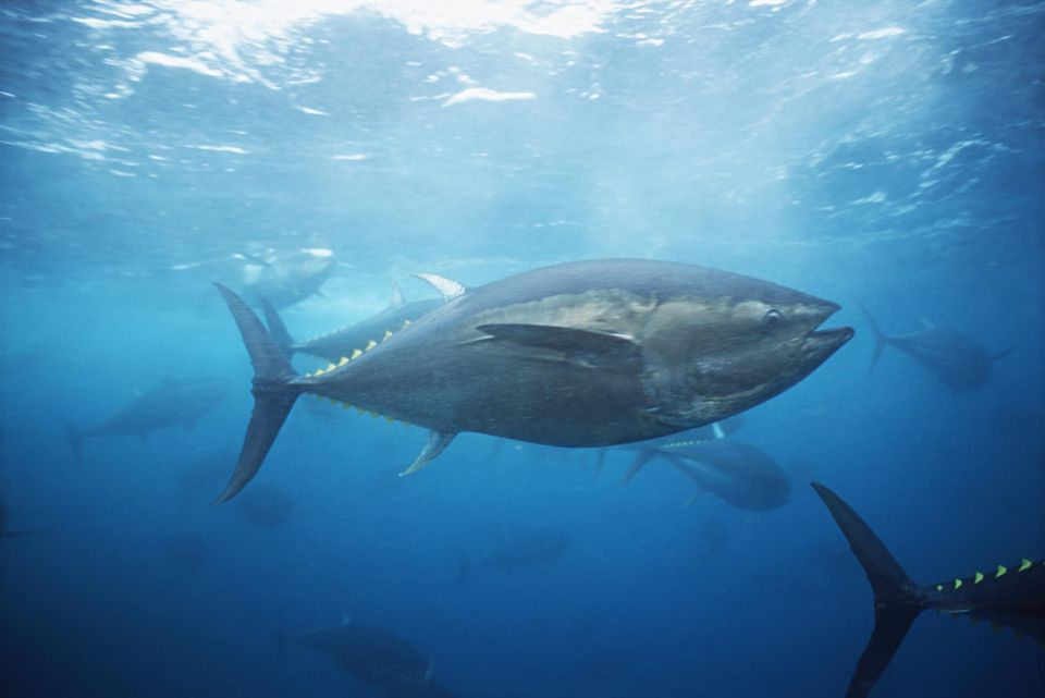 Japan, bluefin tuna swimming research station pen, underwater view