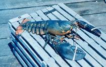 American Lobster On a Lobster Trap / NOAA