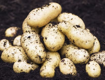 New potatoes just harvested, with dirt on them