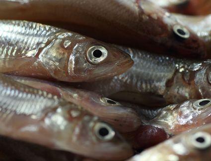 Freshly caught Pacific jacksmelt