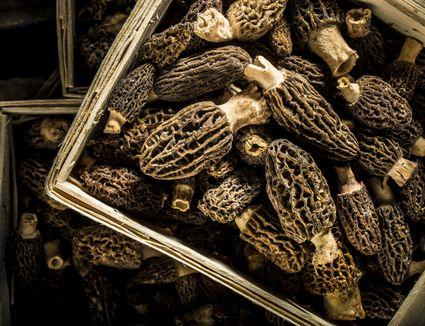 Basket of Wild Morels
