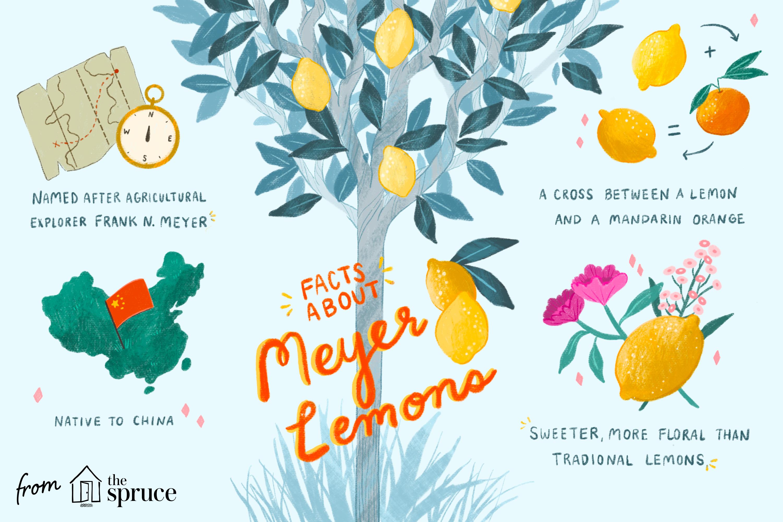 what are meyer lemons