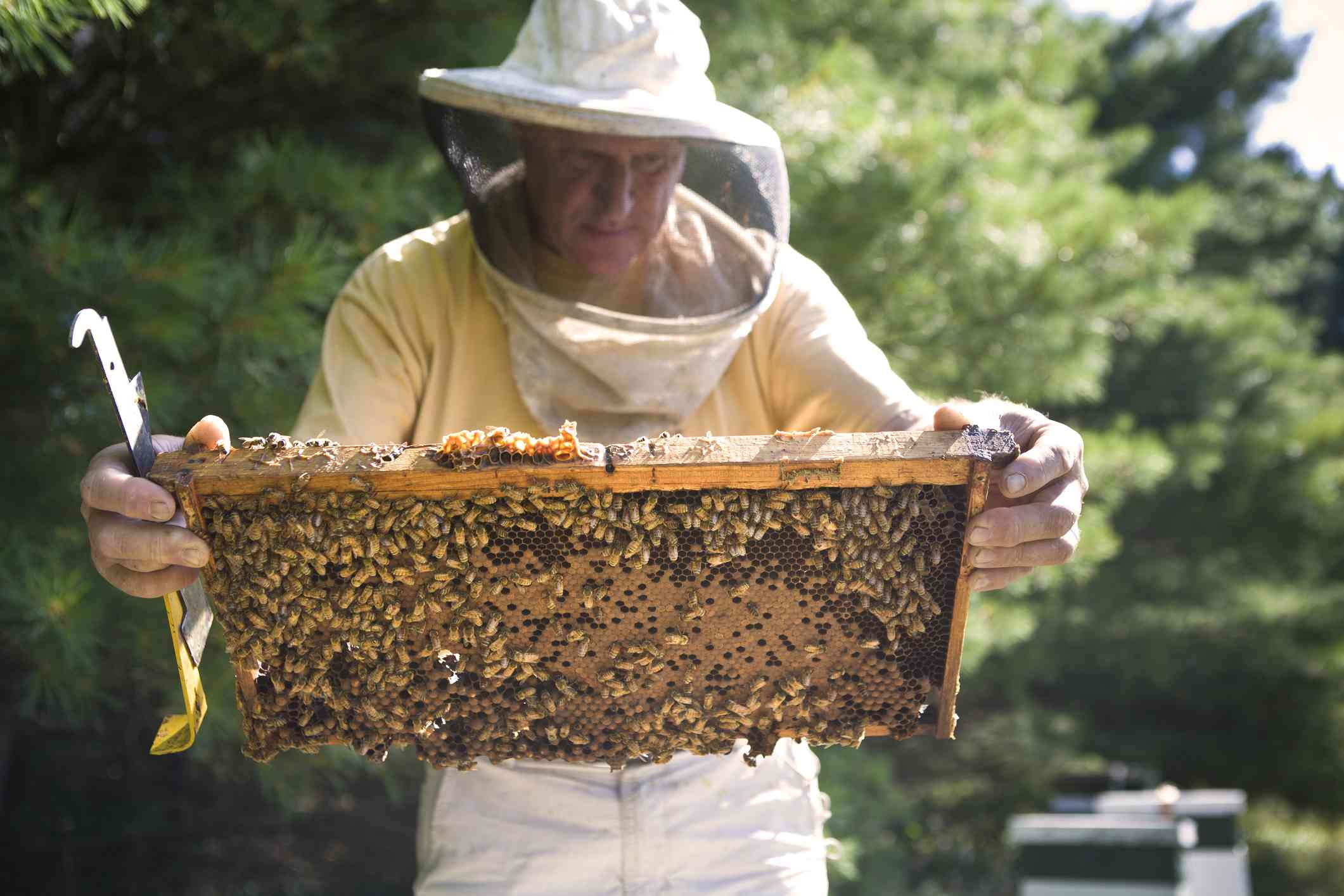 beekeeper inspecting movable frame hives