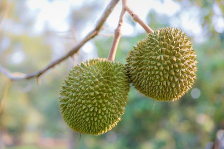 how to eat durian fruit