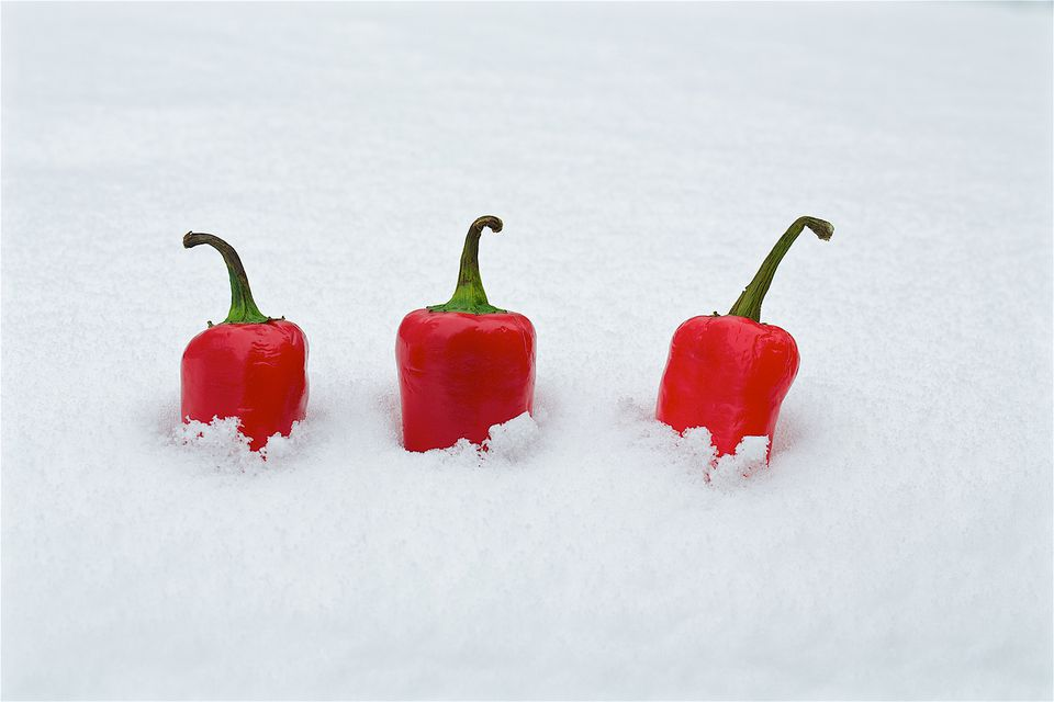 Red Chilli Peppers Buried in Snow