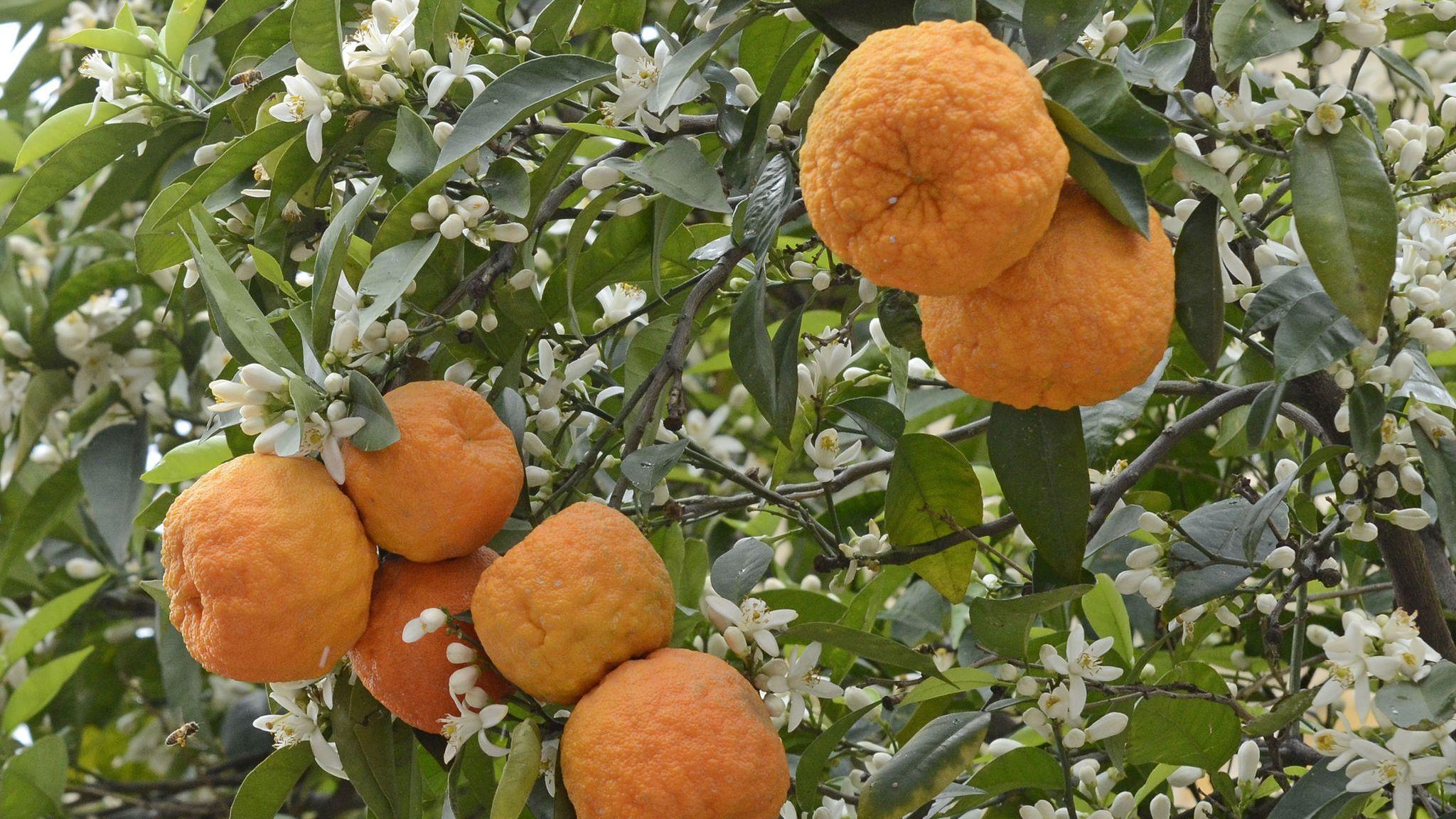 Lieblings Mojo Criollo - Sour Orange Marinade Recipe @ZP_94