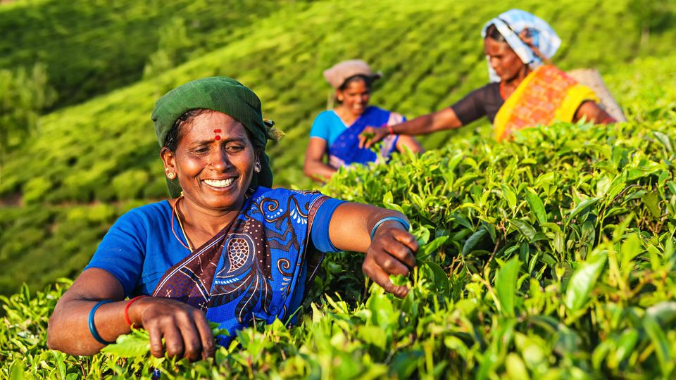 Indian tea pickers plucking tea leaves in Munnar