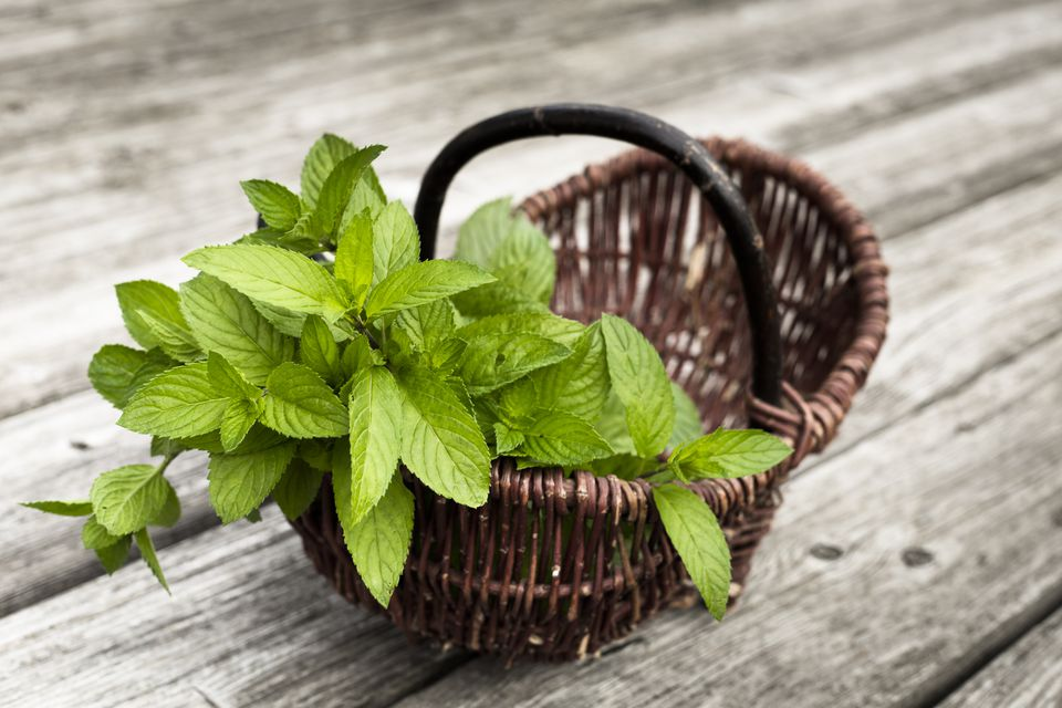 Wickerbasket of fresh peppermint