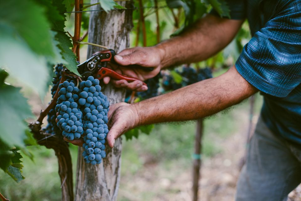 Senior mans hands harvesting grapes from vine