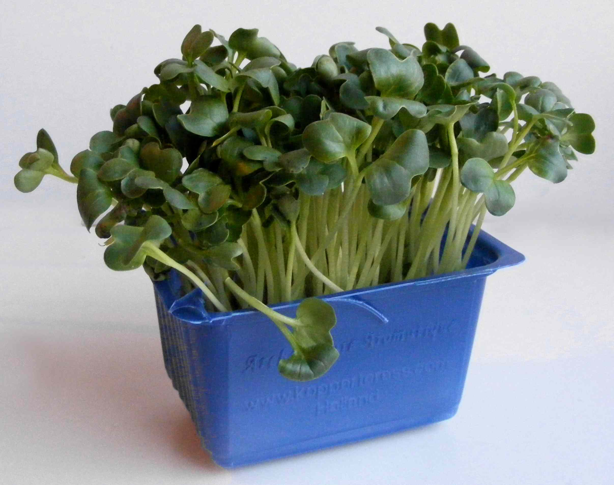 Daikon cress sprouts