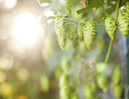 Ripe summer hops good for making beer from.