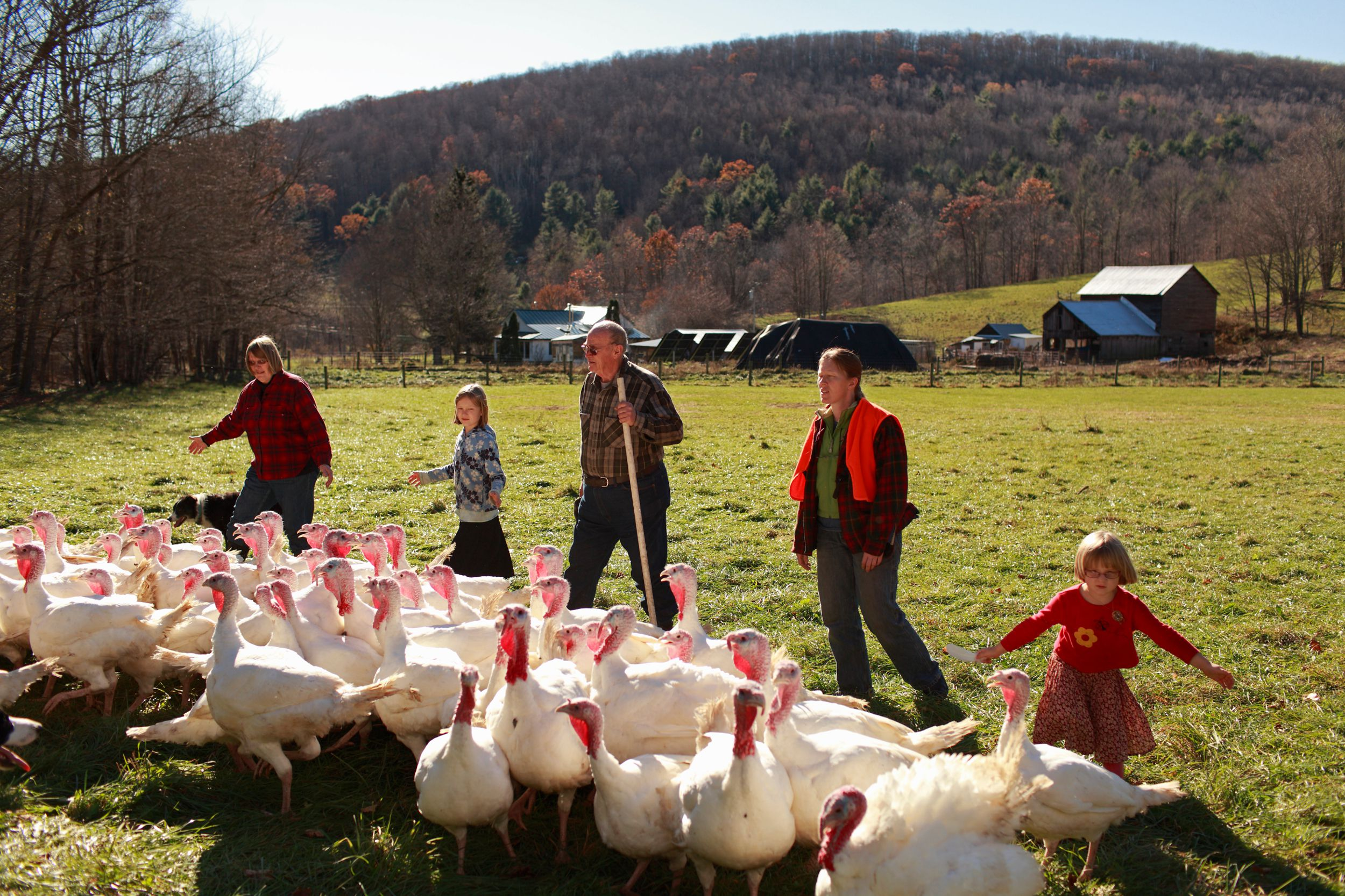 Farmer and his family herding his flock of organically raised turkeys