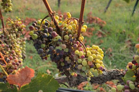 Ancient greek food recipes greek grapes forumfinder Image collections