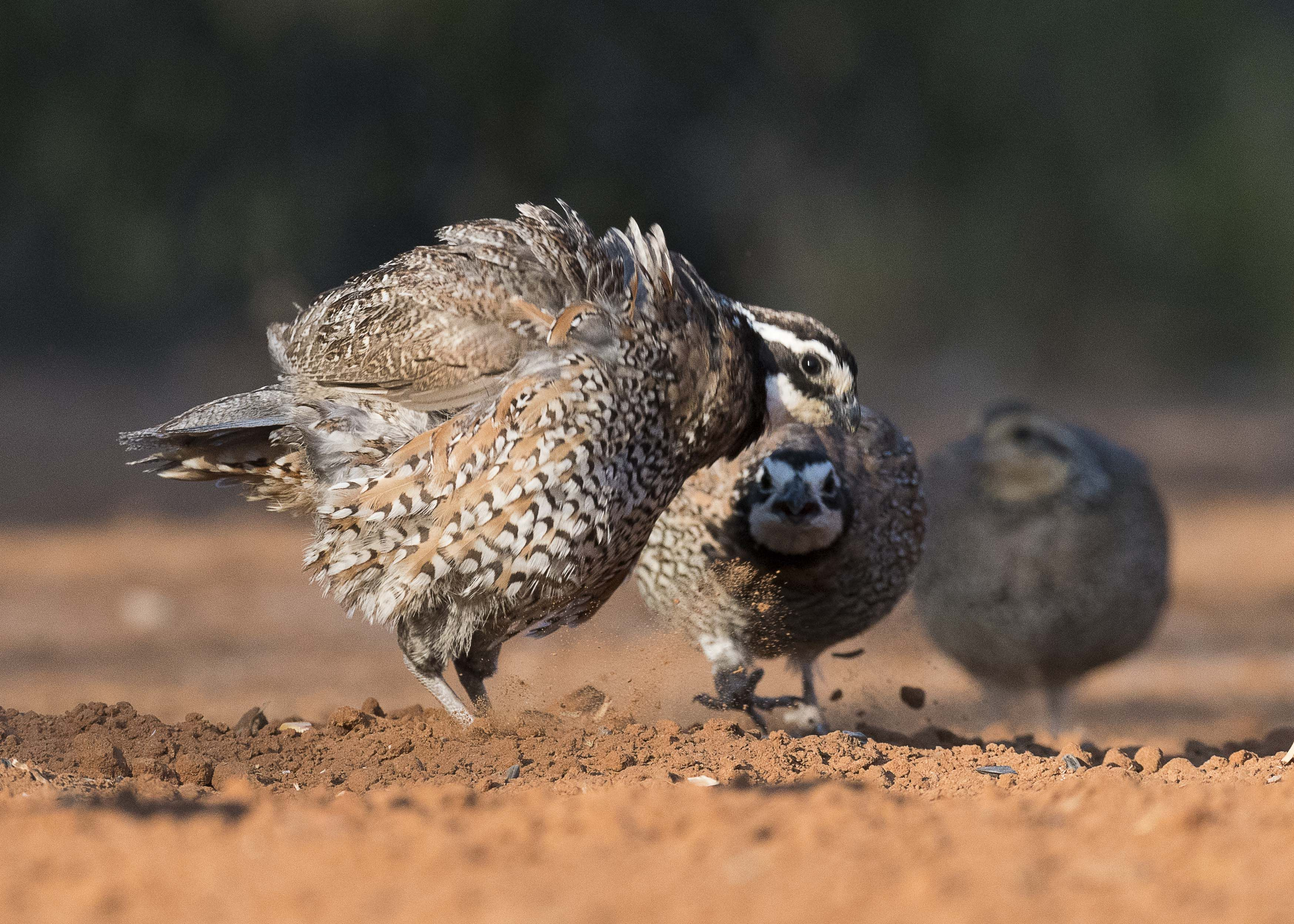 The Most Popular Game Birds Hunted for Sport and Food