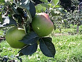 British Bramley apples on the tree