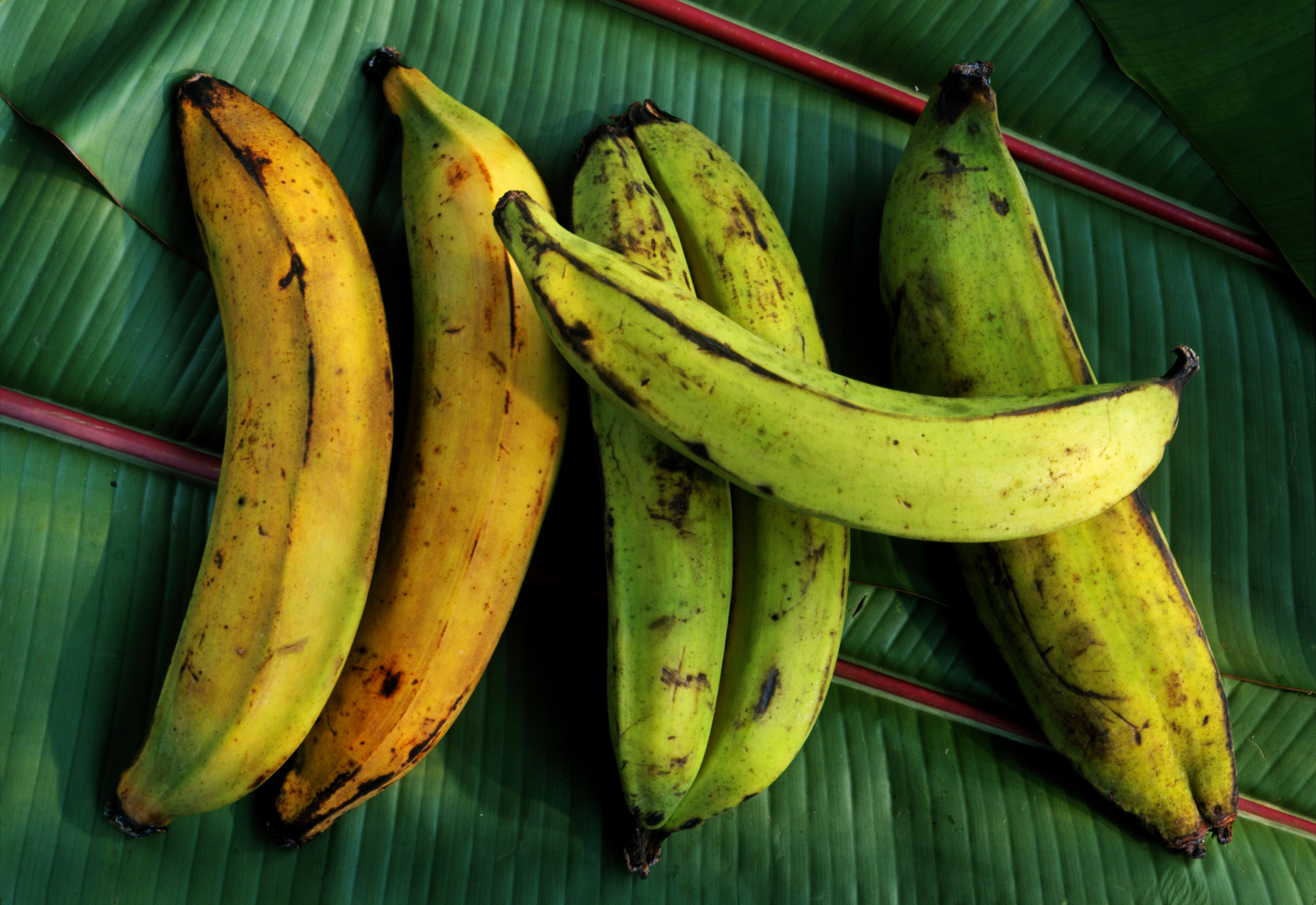 Freshly picked plantains on leaves