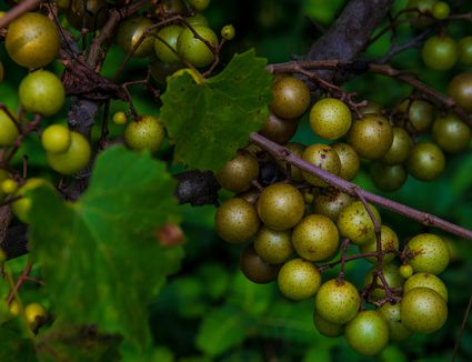 Muscadine, or Scuppernong, Grapes