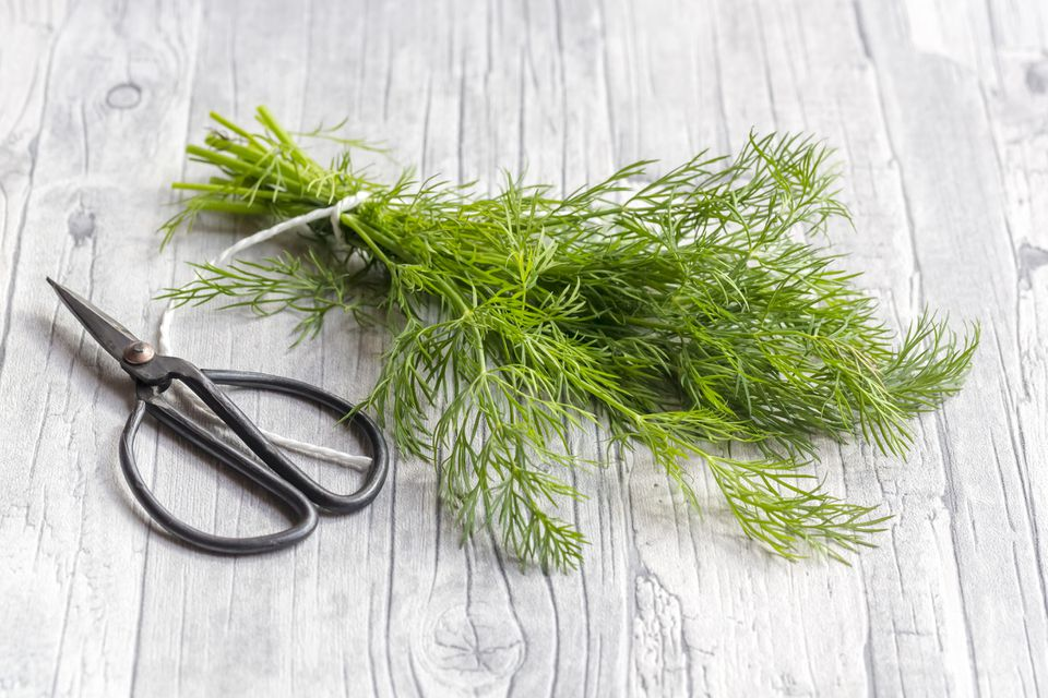 A sprig of fresh dill weed with a pair of herb shears