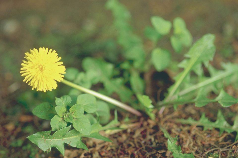 A dandelion plant