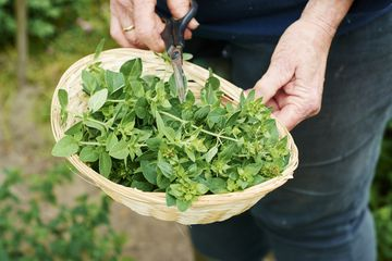 Gardener harvesting oregano