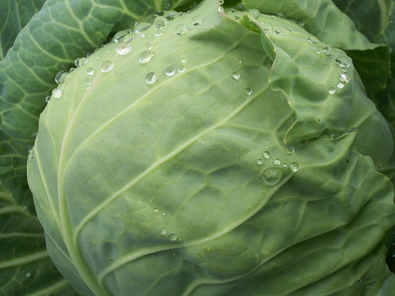 Drops of Water on Green Cabbage