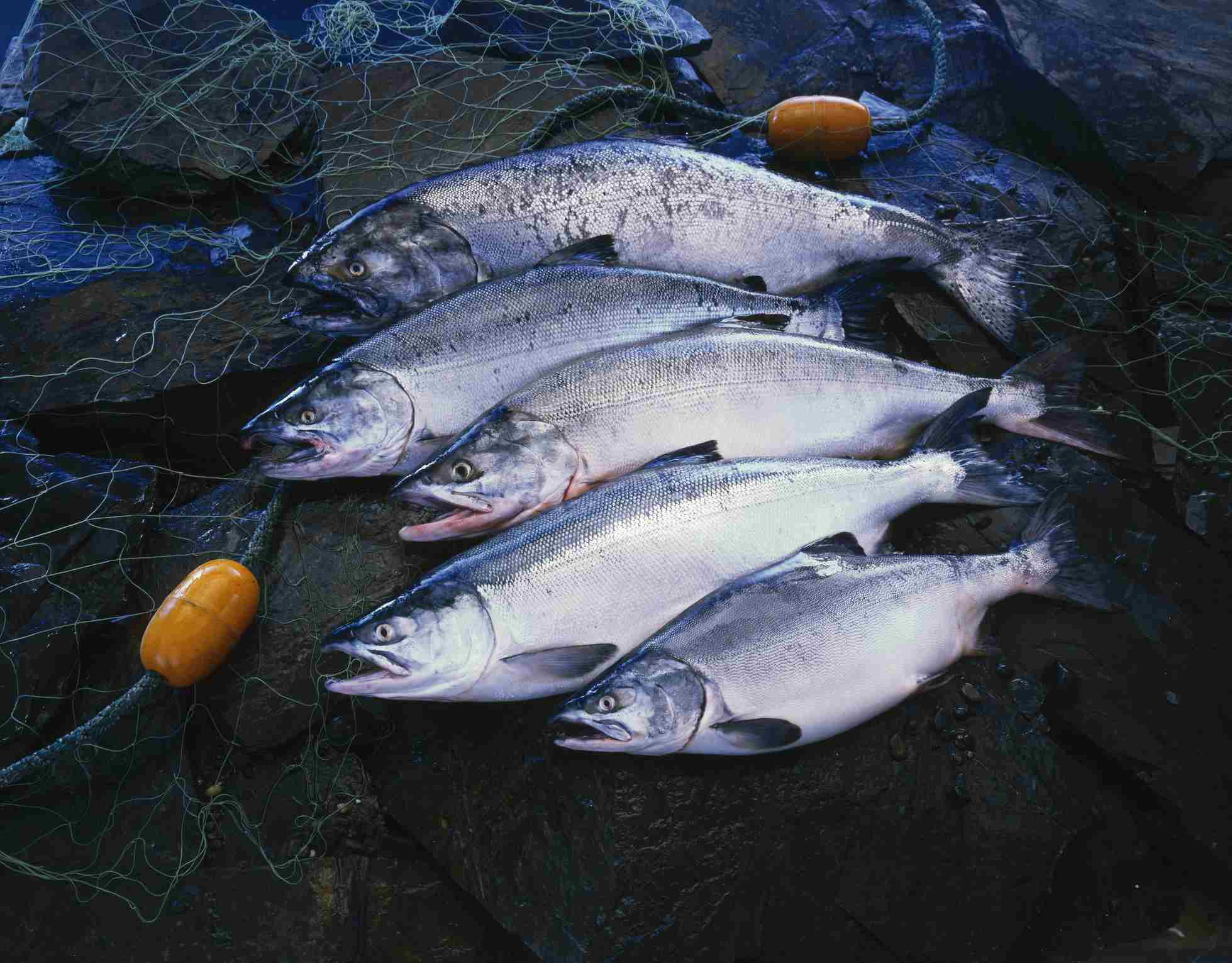 Different salmon species
