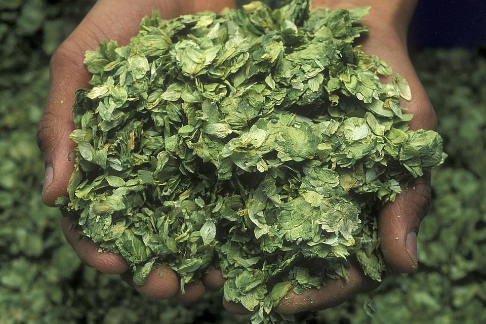 Dried Hops Held in Hands
