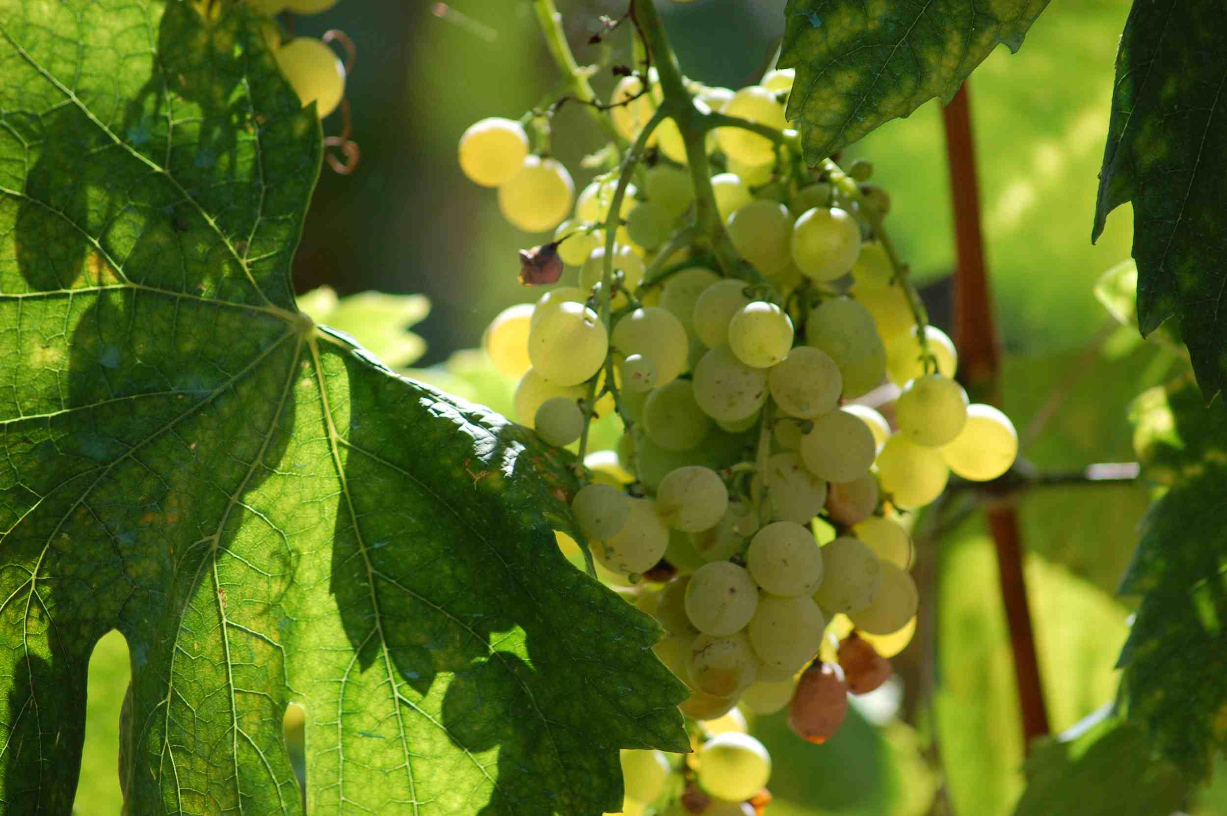 Trebbiano grapes for making white balsamic vinegar