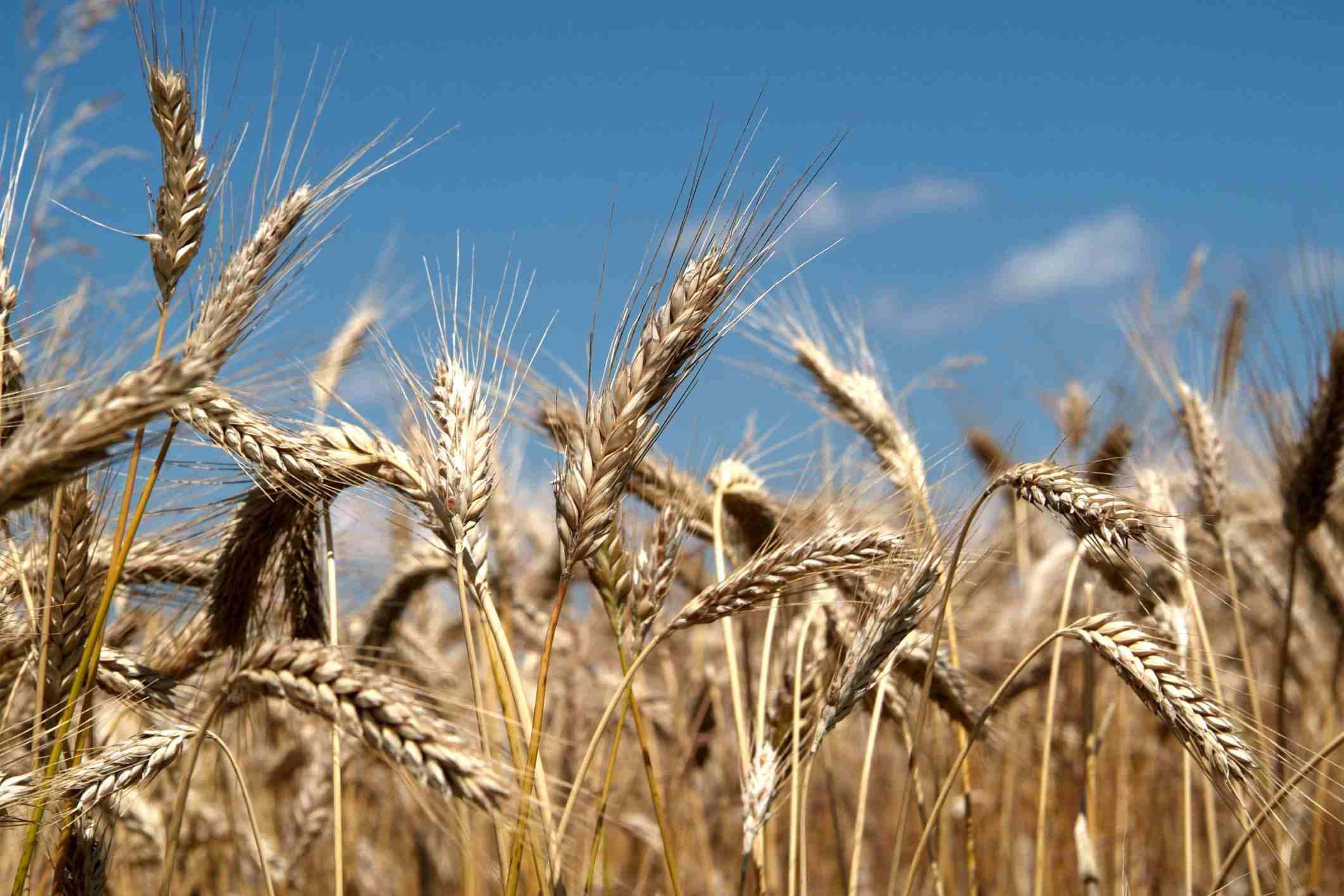 WheatBSIP-UIG-Getty.jpg