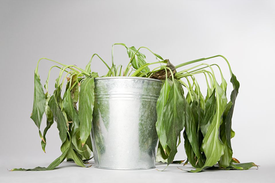 How to Save Dying Herb Plants Wilted Plants Healthy And Beautiful House on old house plant, yellow house plant, withered house plant, twisted house plant, waxy house plant, reviving a wilted plant, dry house plant, dying house plant, dead house plant,