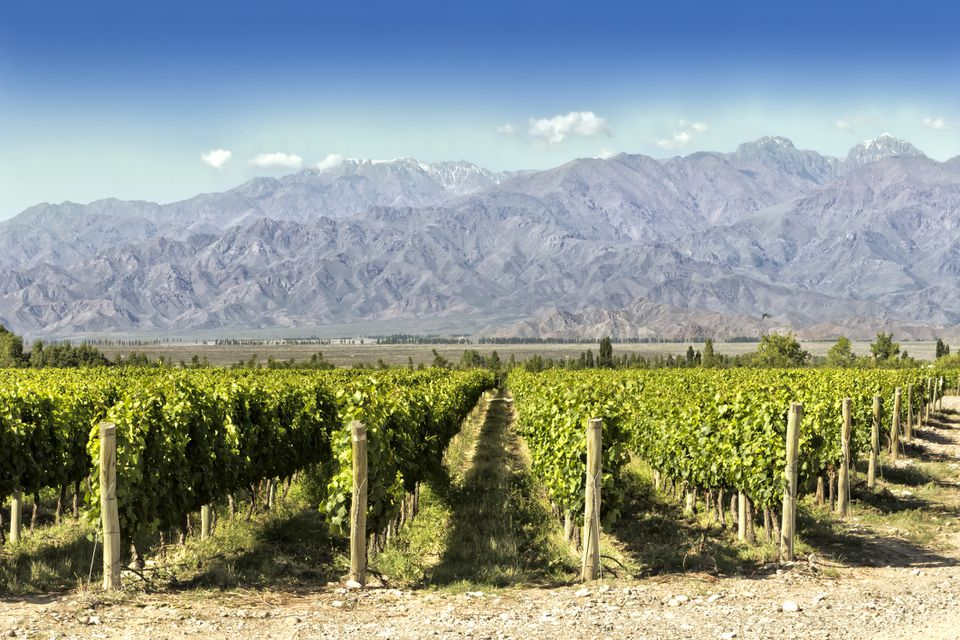 Malbec Vineyards in Argentina